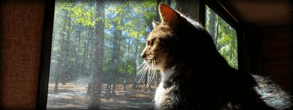Photo of a brown tabby looking out a window and into the woods.