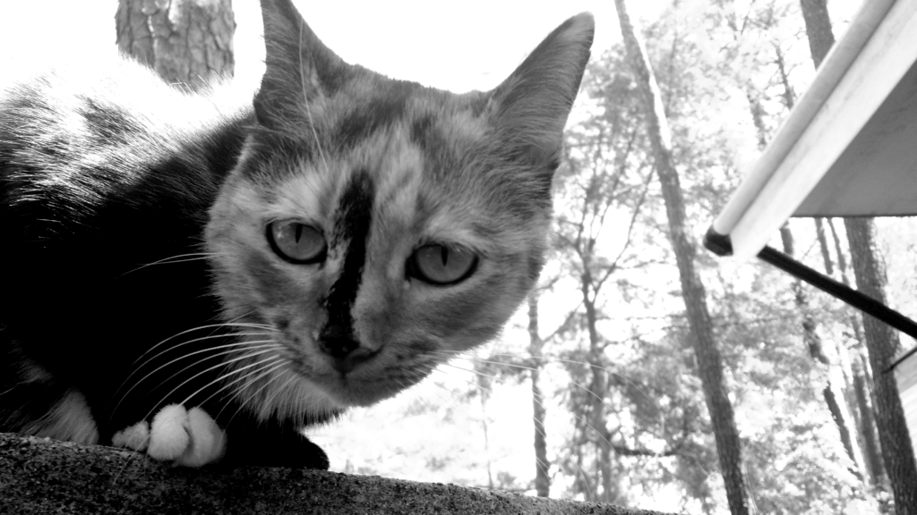 Black and white photo fo a domesticated cat.
