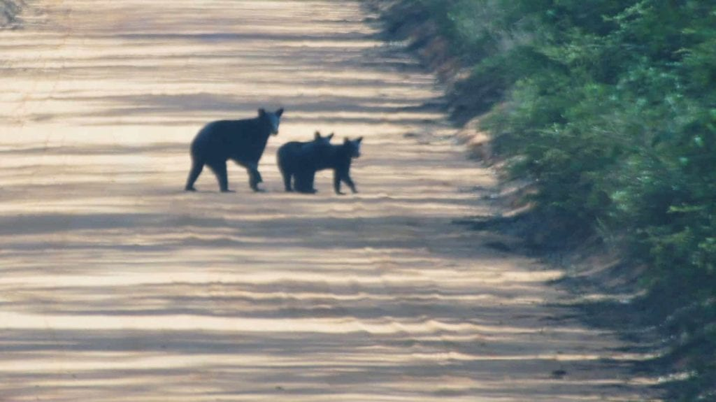 A mother bear and her two cubs crossing a dirt road near Bayside Campground.