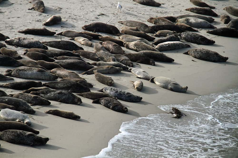 Seals basking on a sandy shore in San Diego, California.