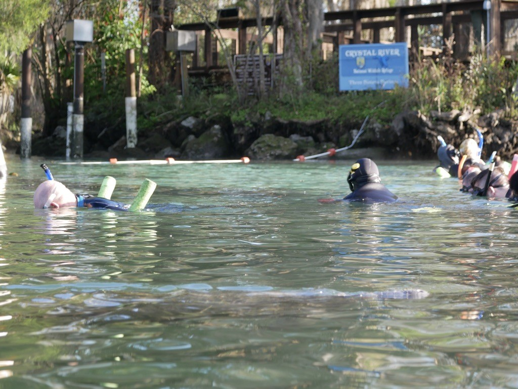 A group of adults swimming with manatees at Three Sisters Spring in Crystal River, Florida
