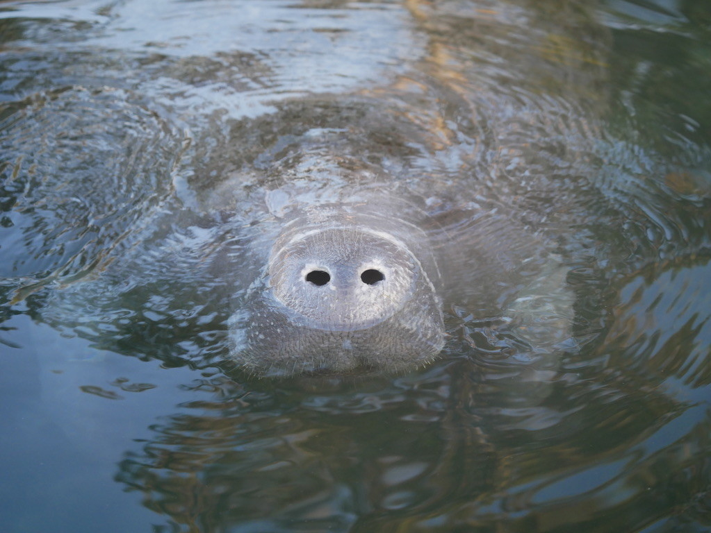 A manatee swimming at Three Sisters Spring comes to the surface for air.