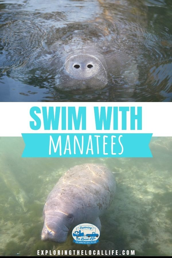 A photo collage of manatees swimming at Three Sisters Spring in Crystal River, Florida