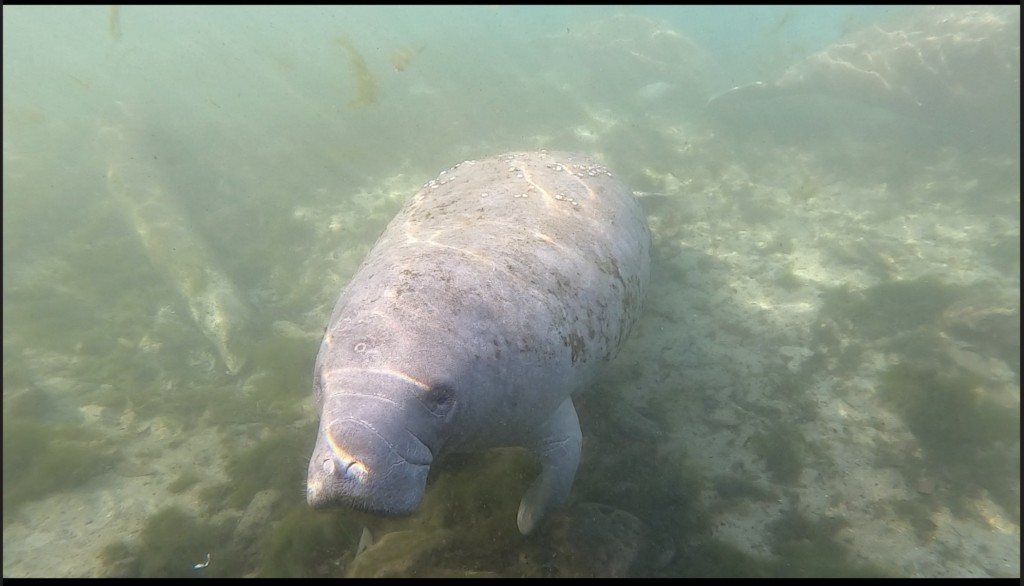 A curious manatee swims underwater in Crystal River, Florida